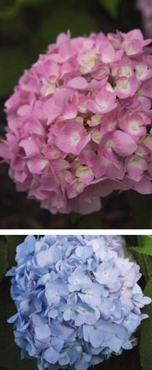 Endless Summer Hydrangea for Sale | Fast Growing Trees