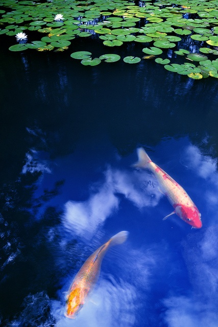 Japanese carps, Koi