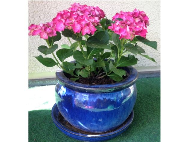 il est possible de cultiver un hortensia en pot conseils. Black Bedroom Furniture Sets. Home Design Ideas