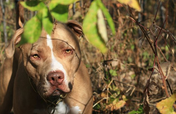 No link between aggressive dog breeds, delinquent owners: study: Pitti, Pitbull Terrior, Perfect Pet, Tough Dogs, Dogs Breeds, American Pitbull, Pit Bull, Aggressive Dogs, Leaves