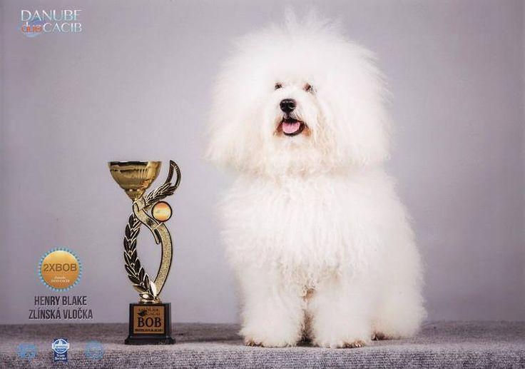 Bishon Frise. Pet corner, Dog supplies, Pet grooming