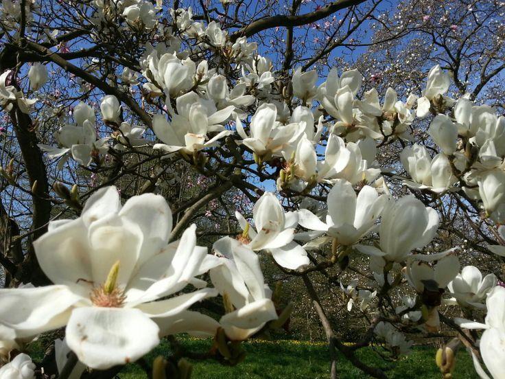 Magnolia Madness at Kew Gardens