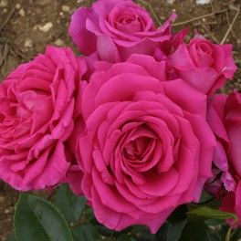 Claire Marshall rose strong scent