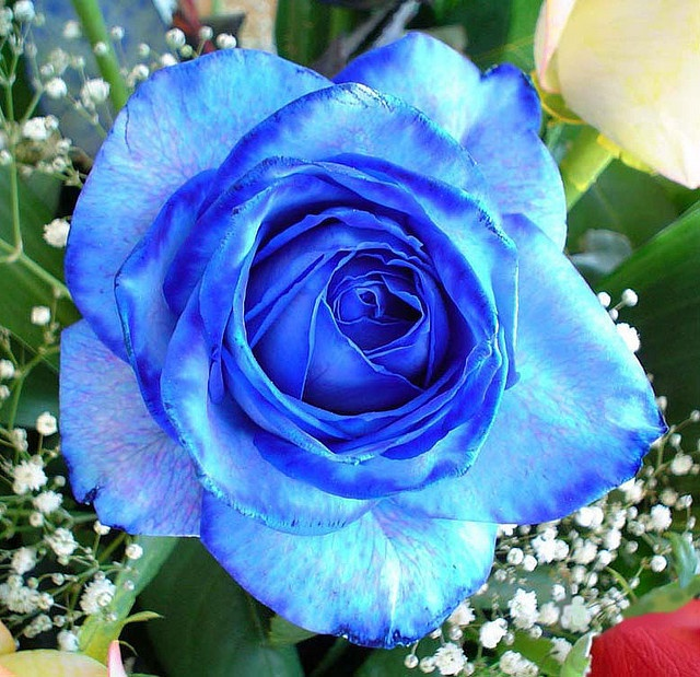 The blue rose!!