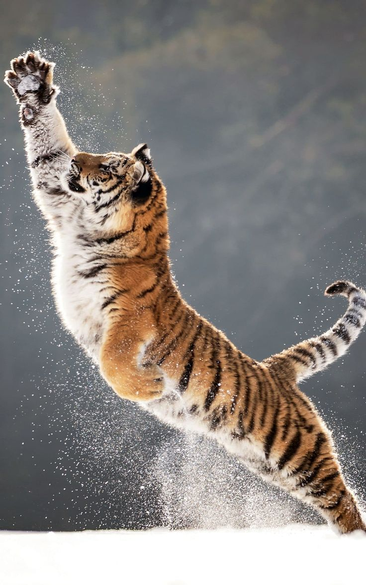 A tiger leaping in snowin Hlinsko, Czech Republic. The tiger belongs to an animal trainer who had allowed it to roam freely for the photo shoot.