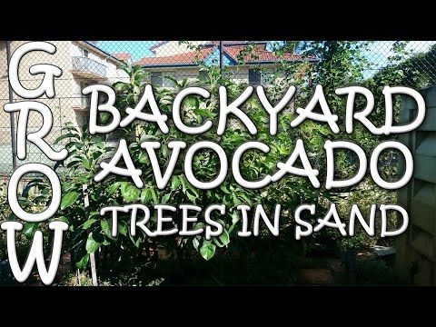 How to Grow Backyard Avocados in Sandy Soil - YouTube