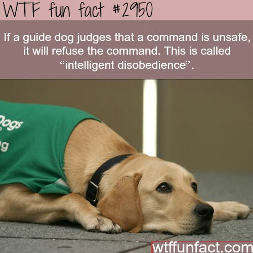 "If a guide dog judges that a command is unsafe, it will refuse the command. This is called ""intelligent disobedience."""