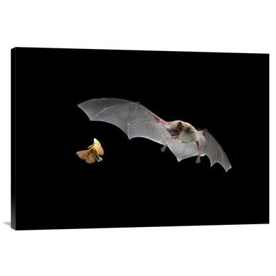 "East Urban Home 'Little Brown Bat Pursues A Forest Moth' Photographic Print on Canvas Size: 21.3"" H x 30"" W x 1.5"" D"