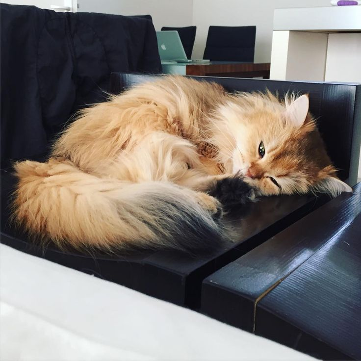 'This is how I spend the entire Weekend' - Cute Fluffy Smoothie the Cat