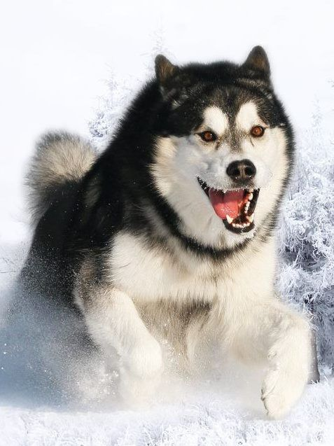 IN ACTION: #husky #snow #dog sooo beautiful, or ? ♥♥♥♥
