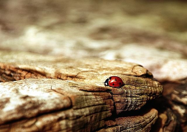 'Ladybug' - photograph by Nikiko. Creative Commons