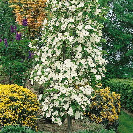 Cornus Eddies White Wonder Hardy Tree