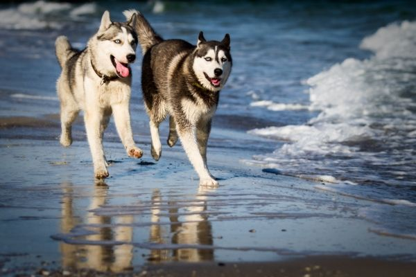 Siberian Husky - Dog Breed Information & Pictures