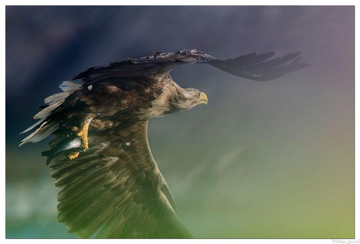 White-tailed eagle  |  Pygargue à queue blanche - The white-tailed eagle is a very large bird  |    Le pygargue à queue blanche est un rapace diurne Il est le quatrième plus grand aigle du monde
