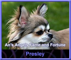 An's Angels Chihuahua's - Testimonials over onze Chihuahua kennel