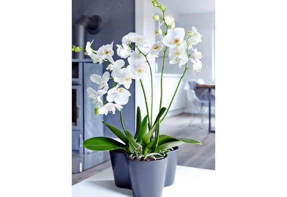 Orchidee (Keine direkte Sonneneinstrahlung, braucht Luftfeuchtigkeit, keine Zugluft. Trockene Stiele nach der Blüte zurückschneiden, ebenso Wurzeln, die sich nach dem Wässern nicht mehr grün färben)
