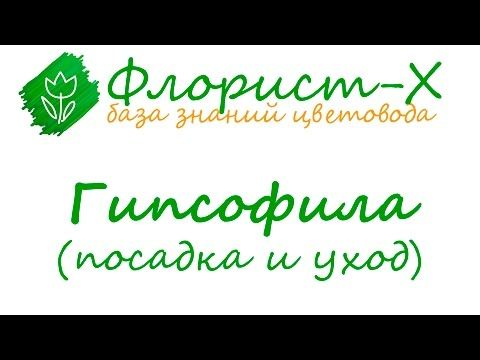Многолетняя гипсофила – посадка и уход, фото гипсофилы, выращивание гипсофилы из семян; цветок гипсофила – метельчатая и ползучая, фото гипсофилы