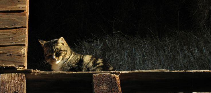 sweetie pie barn cat