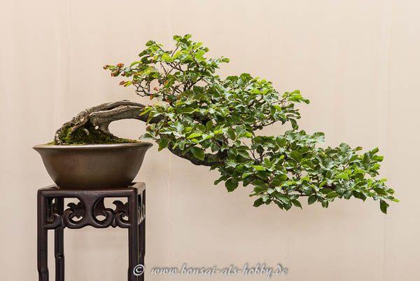 204 best images about bonsai b ume on pinterest prunus. Black Bedroom Furniture Sets. Home Design Ideas