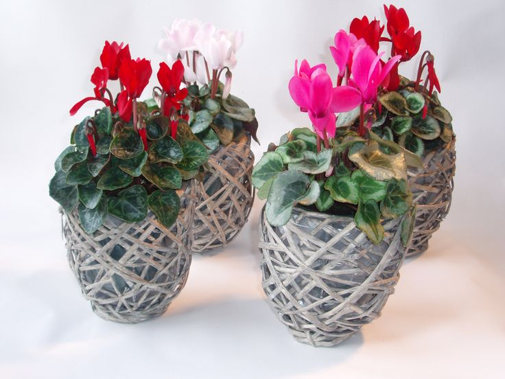 woven rattan baskets with our range of colourful flowering cyclamen