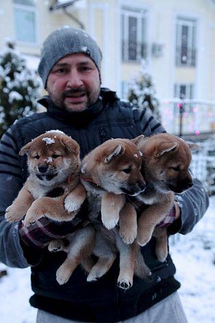 Заводчик собак шиба-ину. Чемпионы японская собака породы шиба-ину щенки купить. Сиба-ину японские собаки племенной питомник.