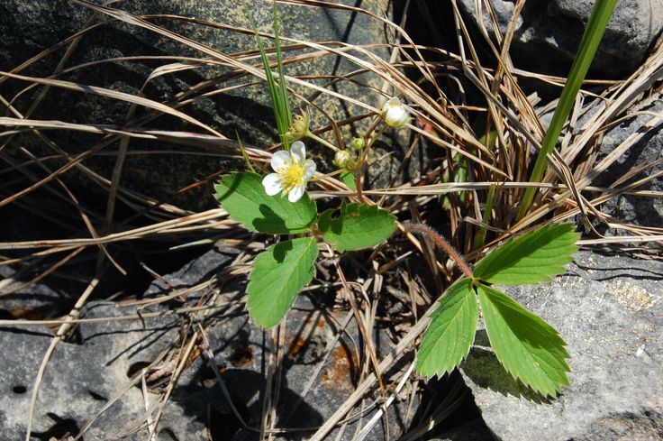 Wild strawberry - Fragaria virginiana ON native