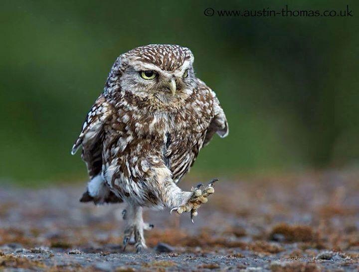 Marching burrowing owl