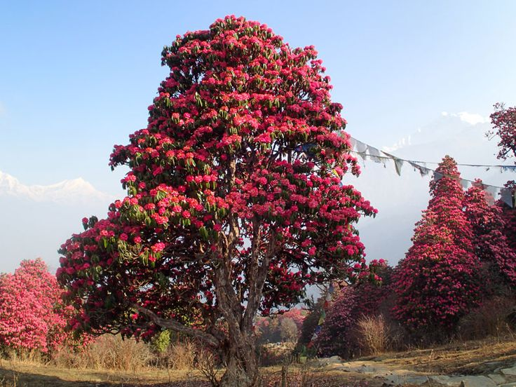 """Rhododendron """"National Flower of Nepal""""  at Ghorepani"""