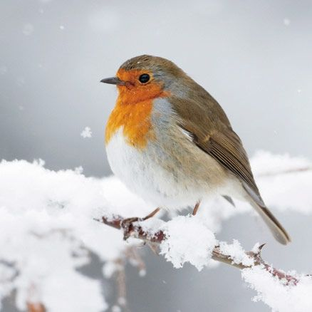Aww. I want to put him in my pocket to warm him up! I remember seeing a QI episode where Stephen Fry said that Robins are on Xmas cards because in the 1880's postmen were called 'redbreasts' due to their red uniform. They were really noticeable at Xmas time because they were delivering Xmas cards -  so now we have the Robin 'Redbreast' on Xmas cards. Nice little bit of info!