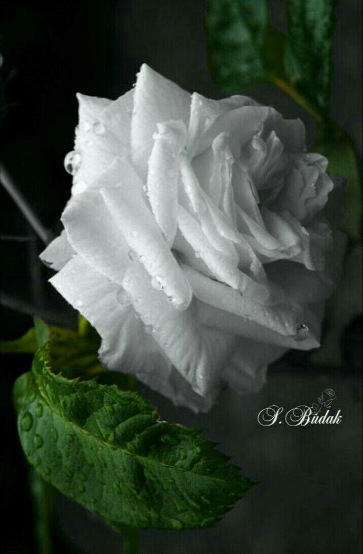 152 best Weiße Blumen images on Pinterest | White flowers, Beautiful ...