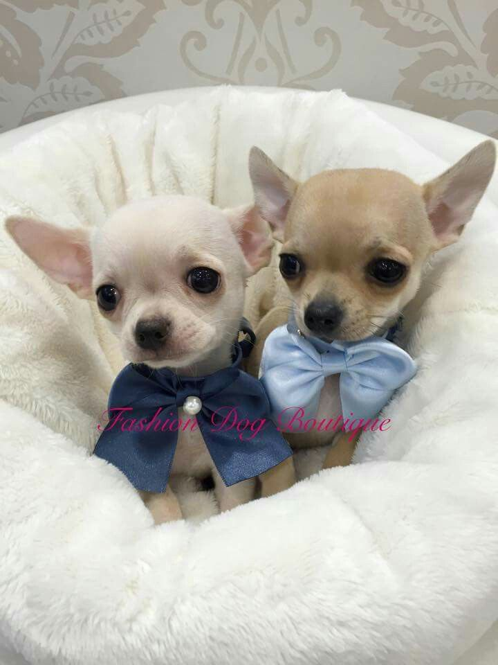 Gift wrapped chihuahuas...