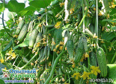 Как выращивать пучковые огурцы (Часть 1): Группа Наши грядки