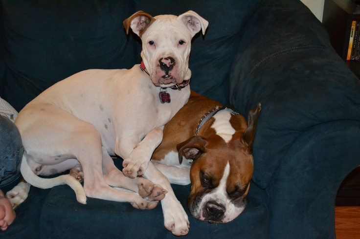 My beautiful puppies! Nova (White) is a Boxer/American Pit Bull mix and deaf. Hemi (Brown) is a Box. They are the best companions you could ever as for.