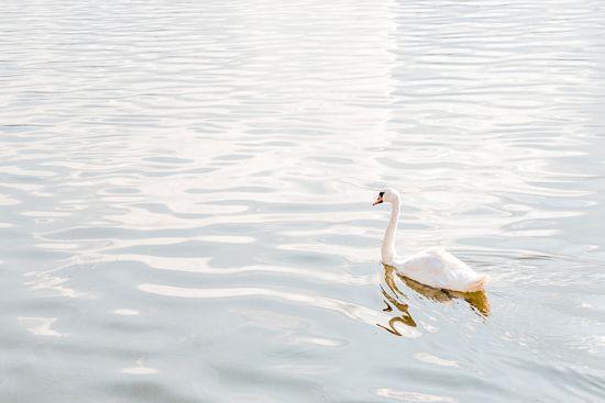 White swan by MalgoS