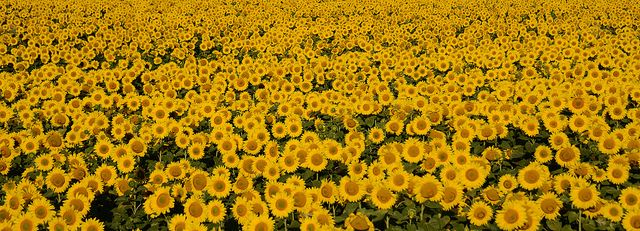 A Sea of Yellow | Fields of Sunflowers