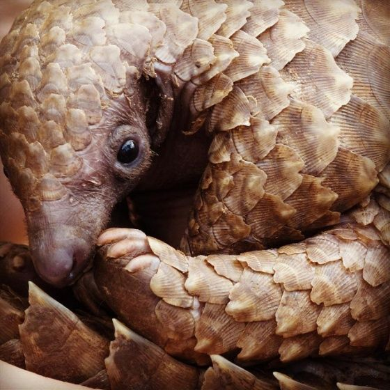 The Pangolin aka scaly anteater is a mammal - and the only one to have large keratin scales covering its skin.