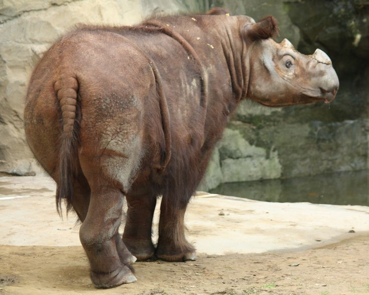 """SLIGHTLY WOOLLY RHINO"" living Sumatran Rhino: CRITICALLY ENDANGERED  https://Pinterest.com/johnjliam/supersaur-thundermammal-fossils/ https://en.wikipedia.org/wiki/Sumatran_rhinoceros#/media/File:SumatranRhino3_CincinnatiZoo.jpg Hair can range from dense (the most dense hair in young calves) to scarce, and is usually a reddish brown."