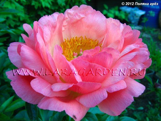 Купить пионы Coral Sunset (Wissing, 1965), тип: Г1, срок: EM, форма цветка: ПМ, высота: 90, диаметр: 16