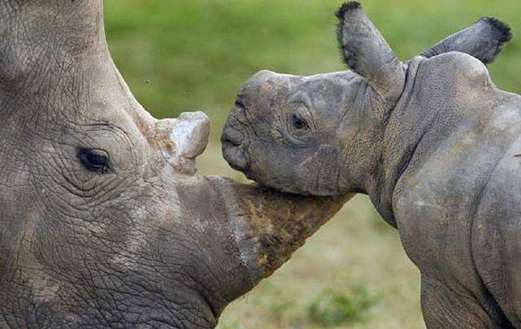 Rhino Ralley