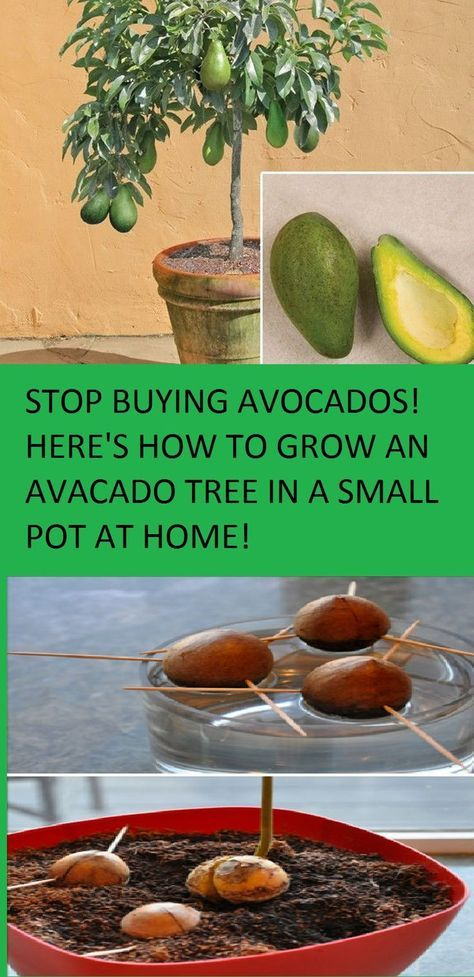 Avocado Zaaien Will Go To Www.healthylfealways.org Article About Growing