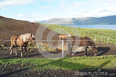 Picture with horse farm in Iceland