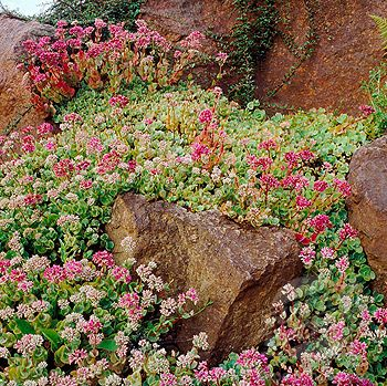 Patio Ground Cover Ideas flowering ground cover gardening landscaping flowers love the idea of planting low Sedum