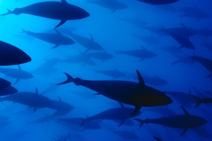 Atlantic Bluefin Tuna swim in a breeding facility. After decades of overfishing, the fish is now threatened by extinction. In 2010, all 27 European Union countries backed the international ban on trade in bluefin tuna (by Solvin Zankl/ Wild Wonders of Europe).