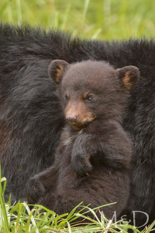 A Spring cub relaxes against mama. Cades Cove, GSMNP