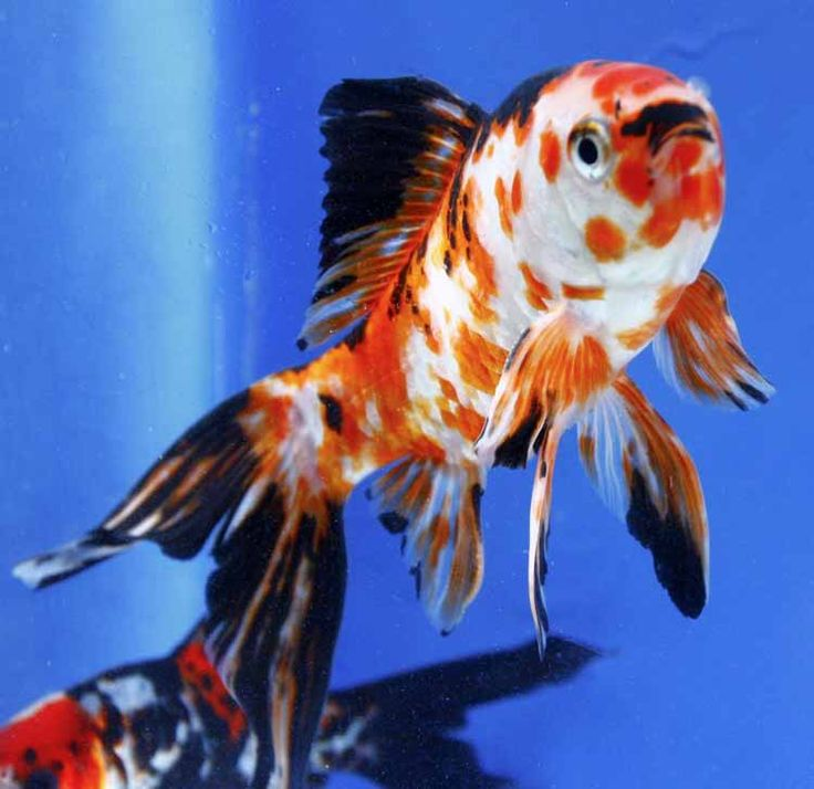 The only Shubunkin that we have now are the Imported Shubunkin, which may include some blue ones. Description from blueridgekoi.com. I searched for this on bing.com/images