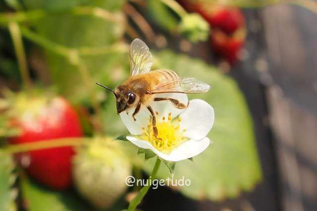 セイヨウミツバチさんイチゴハウスの中でお仕事中! http://blog.goo.ne.jp/nuigetudo-satoyama/e/0894148be65585dd128e0f16e8fdb2a1