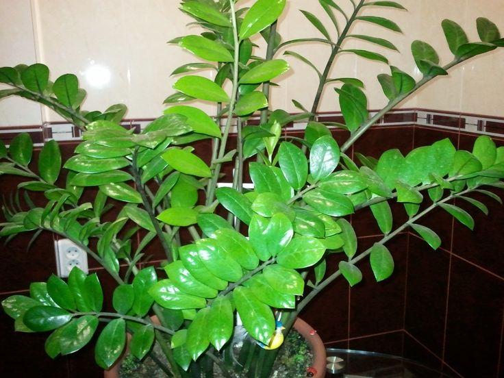 Долларовое дерево, уход в домашних условиях за которым очень прост, представляет собой травянистое растение из семейства Ароидные, известное в научной литературе как замиокулькас. Представитель тропического климата Африки своим народным названием обязан не только красивым ярко-зелёным листовым пластинам, но и энергетике, которая, если верить практике фен-шуй, притягивает деньги и благополучие. Виды и сорта Род замиокулькас представлен единственным видом – замиокулькас замиелистныйили…