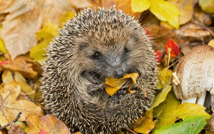 Download wallpapers hedgehog, cute animal, autumn, wildlife, forest animals