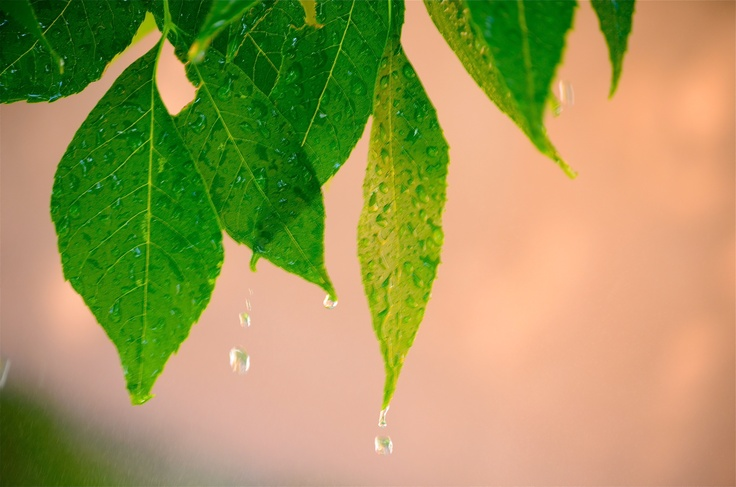 Rain water dripping off the leaves in our tree