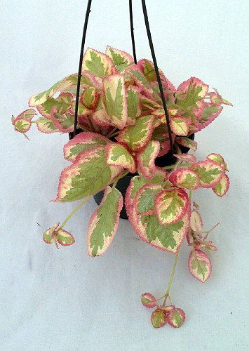 "Pink Brocade Flame Violet - Episcia - Easy House Plant - 5"" Hanging Basket for only $14.99 You save: $2.51 (14%)"